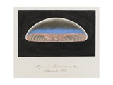 Aequorea Forbesiana: Jellyfish  1852