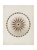Chrysaora Hysoscella  Ilfracombe  1856: Compass Jellyfish
