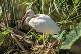 USA  Florida  Orlando  White Ibis  Gatorland