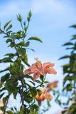 USA  Florida  New Smyrna Beach  Peach Colored Hibiscus