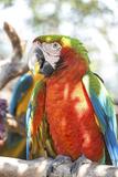 USA  Florida  Orlando  Scarlett Macaw  Gatorland