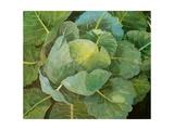 Cabbage (Blue)  2014