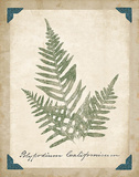 Vintage Ferns XI Reproduction d'art par Hugo Wild