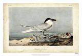 Audubon Sandwich Tern