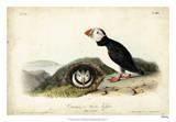 Audubon Arctic Puffin