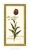 Jen's Tulip II