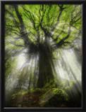 Ponthus Beech Tree 2
