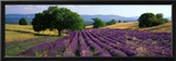 Flowers in Field  Lavender Field  La Drome Provence  France