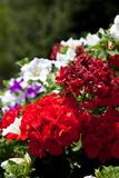 Austria  Tirol  Flowers  Geranium