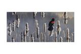Marsh Notes - Red Wing Blackbird
