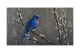 Signals of Spring - Eastern Bluebird