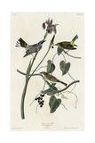 Yellow Crown Warbler