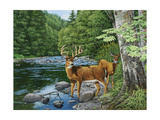 Streamside - White Tail Deer