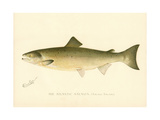 The Atlantic Salmon