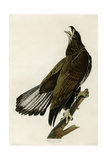White Headed Eagle Deaux