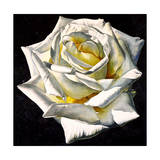 White Rose- Yellow Center