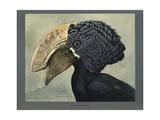 Abyssinian Crested Hornbill