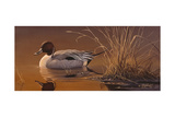Amber Light - Pintail