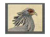 Abyssinian Secretary Bird