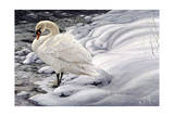 Edge of Light - Mute Swan