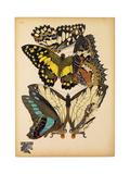 Butterflies Plate 14