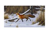 Fox Trot - Red Fox Giclée par Wilhelm Goebel