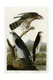 Goshawk Stanley Hawk