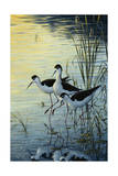 Elegant Trio - Blacknecked Stilts