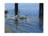 Glistening Water Swans