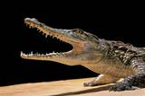 Crocodylus Niloticus (Nile Crocodile)