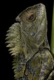 Gonocephalus Chamaeleontinus (Hump-Beaded Dragon)