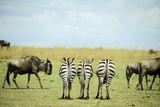Kenya  Masai Mara National Reserve  Rear View of Zebras Looking at the Plain