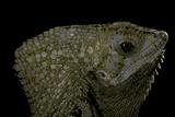 Corytophanes Cristatus (Helmeted Iguana)