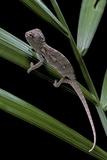 Furcifer Oustaleti (Malagasy Giant Chameleon) - Young