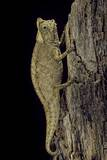 Brookesia Superciliaris (Brown Leaf Chameleon)