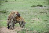 Kenya  Masai Mara National Reserve  Hyena Mating
