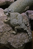 Phrynosoma Modestum (Roundtailed Horned Lizard)