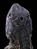 Chalarodon Madagascariensis (Madagascar Iguana) - with His Third Eye
