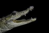 Crocodylus Moreletii (Morelet's Crocodile)