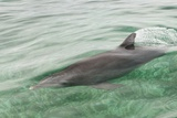 Freedom of a Bottlenose Dolphin (Tursiops Truncatus)