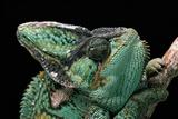 Chamaeleo Calyptratus (Veiled Chameleon)