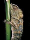 Gonocephalus Chamaeleontinus (Hump-Beaded Dragon)