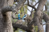 Woodland Kingfisher  South Africa