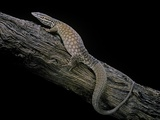 Varanus Acanthurus (Spiny-Tailed Monitor  Ridgetail Monitor)