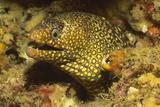 Jewel Moray Eel