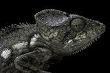 Furcifer Oustaleti (Malagasy Giant Chameleon)