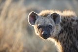 Spotted Hyena  South Africa