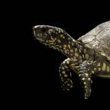 Terrapene Carolina (Florida Box Turtle)