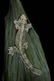 Ptychozoon Kuhli (Flying Gecko)