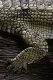 (Gavialis Gangeticus (Gharial)) - Foreleg